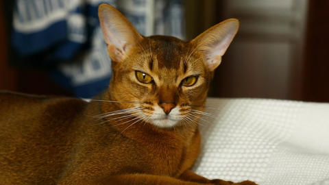 Cute abyssinian cat Footage