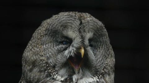 Portrait of a yawning owl close-up Stock Video Footage