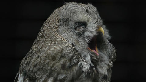 Portrait of a yawning owl close-up Footage