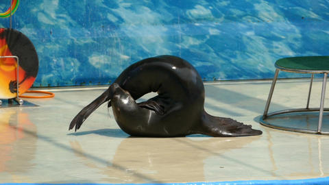 Performance of fur seals. Show with sea animals Live Action