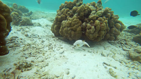 White puffer fish in Andaman sea, Thailand Footage