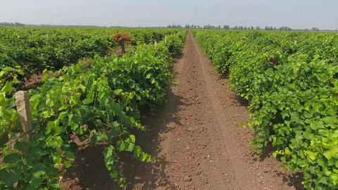 Aerial view on extensive vineyards in Russia Footage