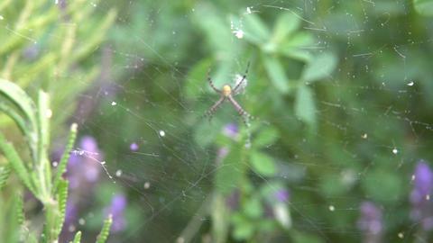Spider Argiope Bruennichi Footage