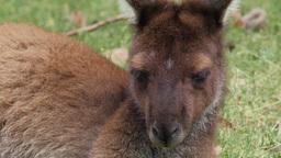 Closeup Of Head Of Resting Kangaroo stock footage