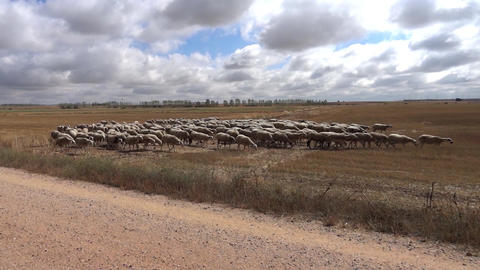 Flock Of Sheep Shorn Stubble Going On Under The Sky Full Of Clouds Fluffy stock footage