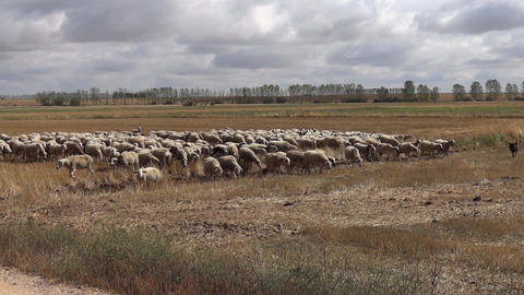 Shorn Flock Of Sheep Go On A Stubble And Skipping An Irrigation Channel stock footage