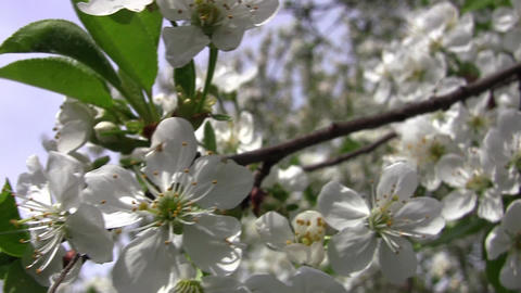 Bunch of white flowers of apple in spring wind Archivo