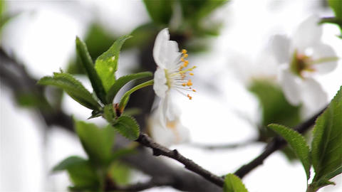 Wild apple branch detail with white flowers Footage