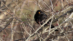 Blackbird sits on bare branches of shrub dry 1 Footage
