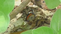 Monarch butterfly feeding Footage