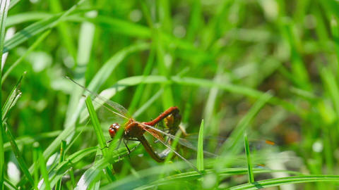 Red dragonflies mate Footage