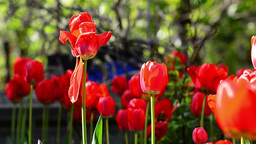 Field red tulips in the garden of a house 2 Footage