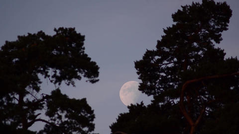 Full moon among tall trees 01 Footage