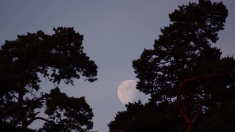 Full moon among tall trees 01 Footage