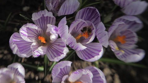 Crocuses White With Purple In A Garden In A Cold Spring Morning. A Lot Of Bees F stock footage