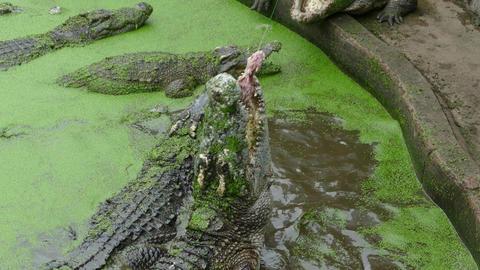 Feeding the crocodile Live Action