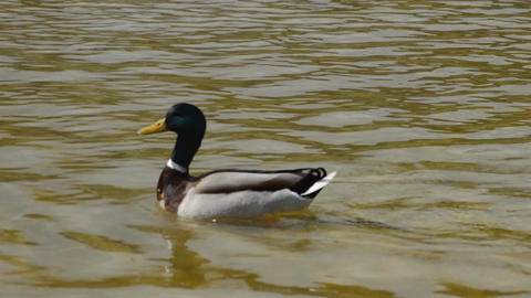 Duck Swimming In A Pond Live Action