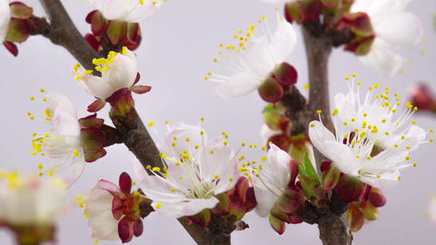 White Cherry Tree Flowers Blossoms Footage