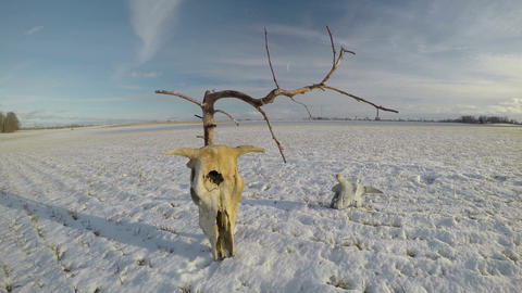 Cow skulls on snow on field with dry dead tree and clouds motion, time lapse 4K Footage