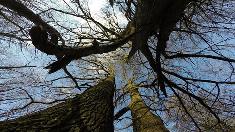 Old oak and linden tree trunks in park and camera rotating, 4K Live Action