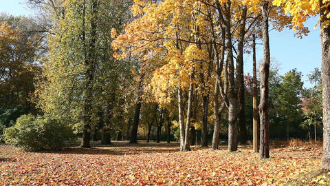 scenic Autumn Park strewn with golden fallen maple leaves Footage