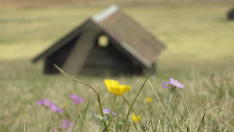 Spring Flowers blown in the wind in front of the house Footage