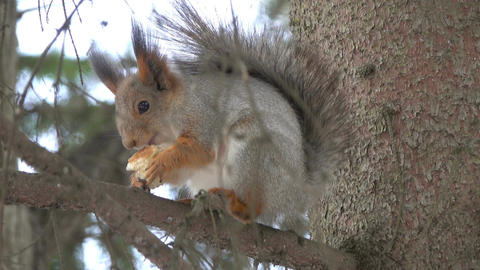 Squirrel feed in winter Footage