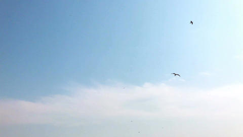 Seagull (Sound included) Live Action