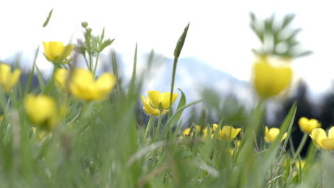 Yellow flowers field swaying in the wind in alps Footage