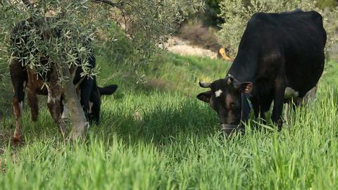 Free Range Cows Eating Grasses Footage