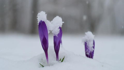 purple flower and snow Footage