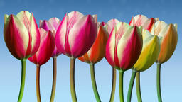 Line of tulips moved in the wind with soft cloudlets Animation
