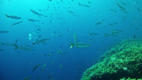 Diving in Spain - Mallorca Barracudas shoal Footage