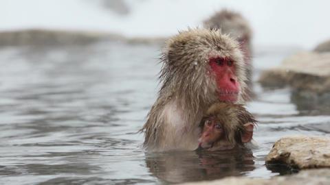 snow monkey in spa Footage