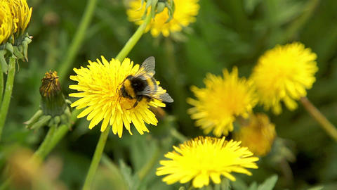 Bumblebee pollinate a dandelions Footage