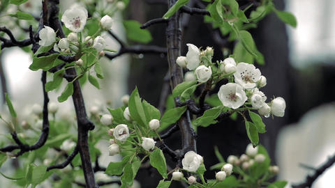 Cold Spring Wet Snow Falling On The Pear Tree Bloom Footage