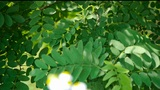 Dense swing Ash tree and wind,tree crown,shadow & wildflower Footage