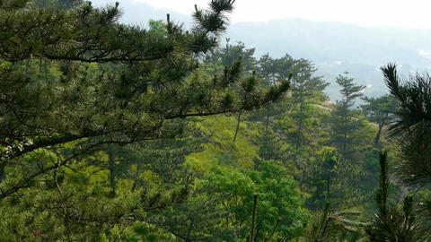 pine trees,bushes in the wind,Dense swing tree,Hillside... Stock Video Footage