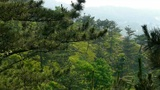 pine trees,bushes in the wind,Dense swing tree,Hillside weeds & grass Footage