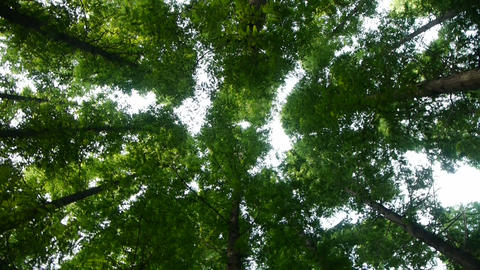 looking up the top of trees crown Stock Video Footage
