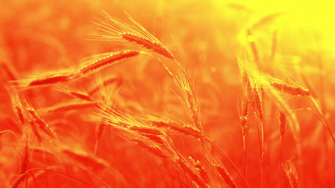 Summer Wheat Crop pattern Stock Video Footage