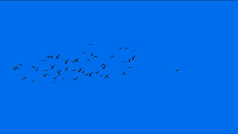 flock of pigeons birds fly over,migratory birds Stock Video Footage