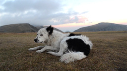 White and black dog is lounging on a mountain pasture in the wind Footage