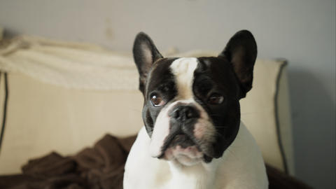 French bulldog looking closely at the camera Footage