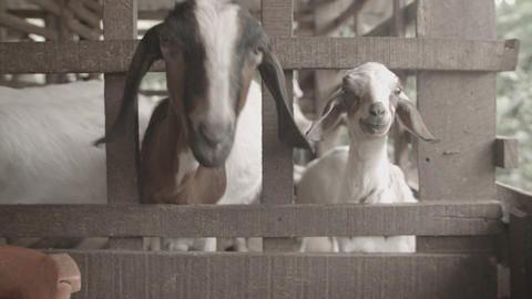 Goats behind fence Footage