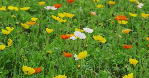 Poppy Flowerd in full bloom in the Park Footage