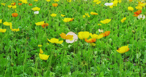 Poppy Flowerd in full bloom in the Park Footage