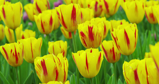 Tulips in full bloom in the park ライブ動画