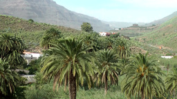 Spain Gran Canary Fataga 007 much palm trees in valley Footage