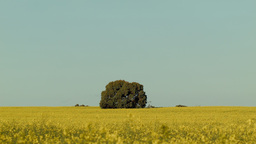 Lone Tree in a Crop of Canola Footage